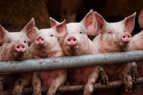養豚場の豚