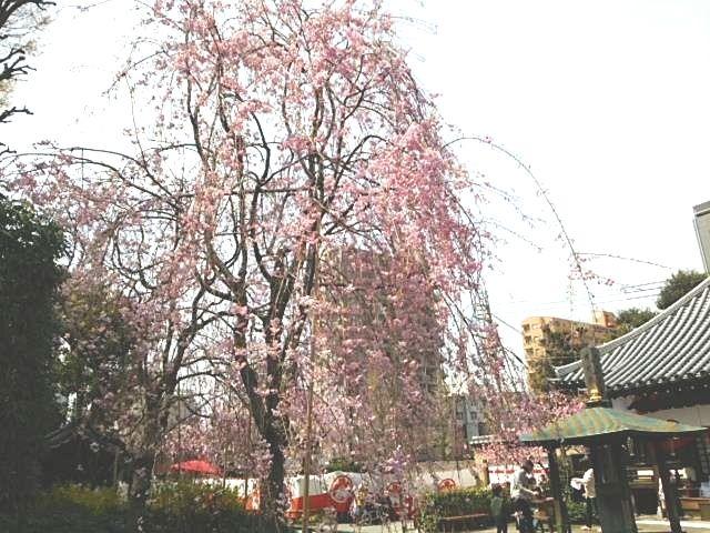 南蔵院の枝垂れ桜