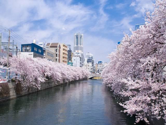 大岡川桜回廊