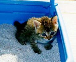 猫トイレトレーニング
